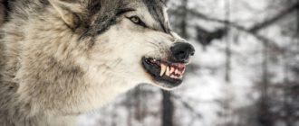 Волки на квх
